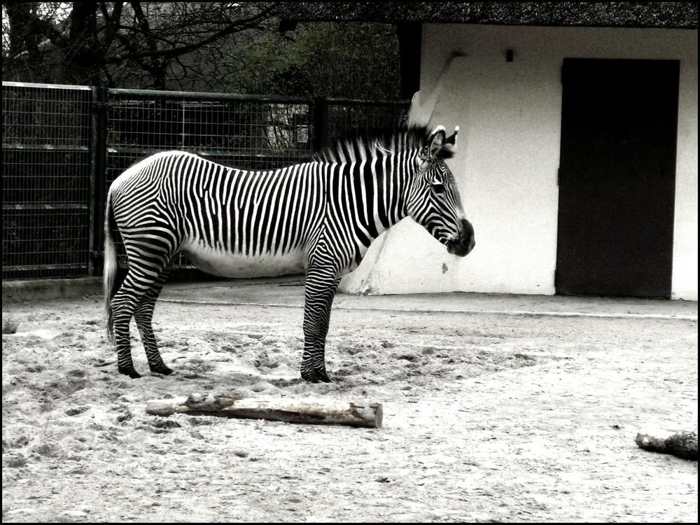 S/W - ein Zebra.