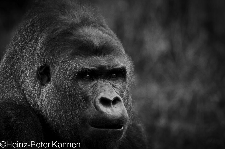 S/W Gorilla