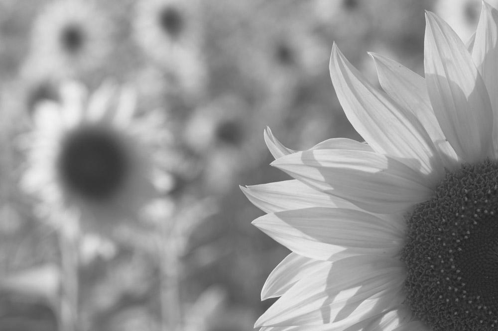 S/W mit Kanalmixer, Tonwertabriss in Sonnenblume mitte/links