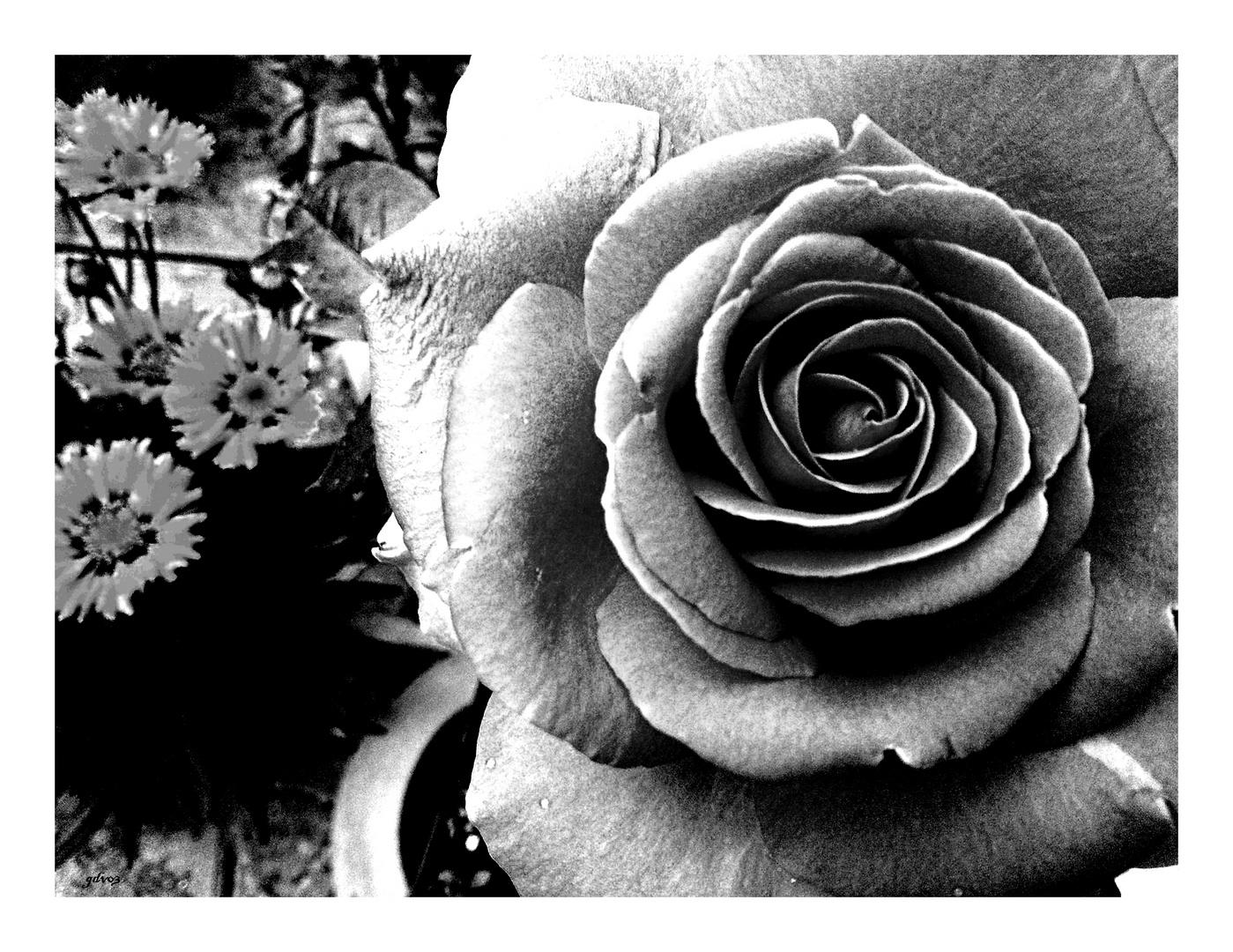 S/w Rose