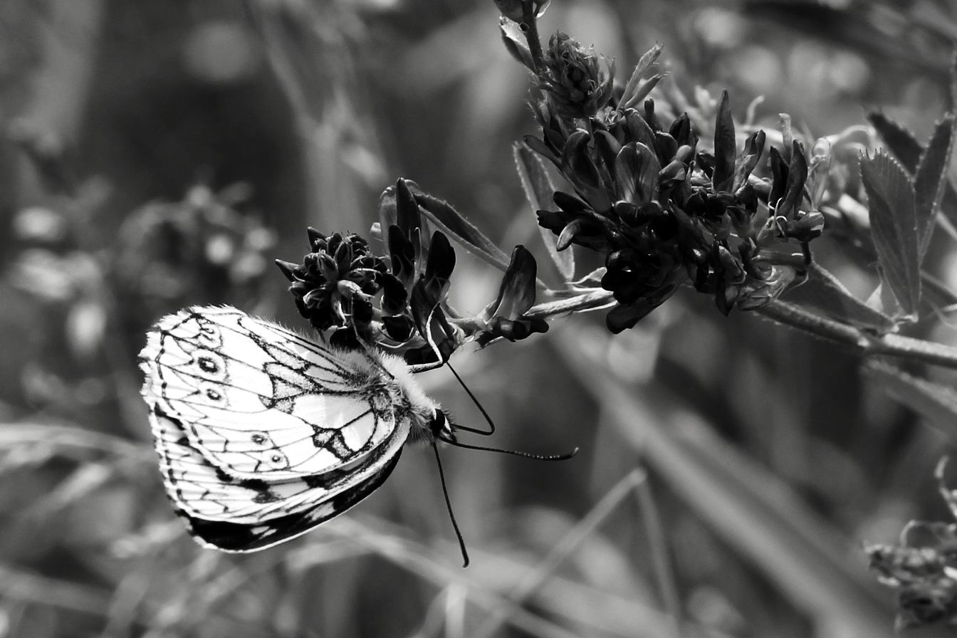 SW Schmetterling