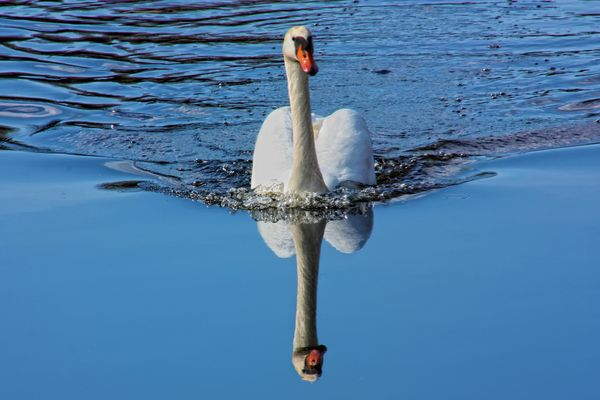 Swan And Its Reflection