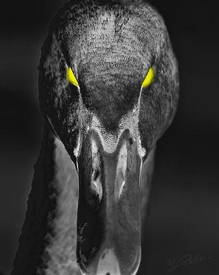 swan - dark side