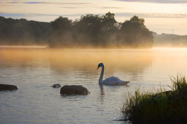 Swan In The Early Morning Mist