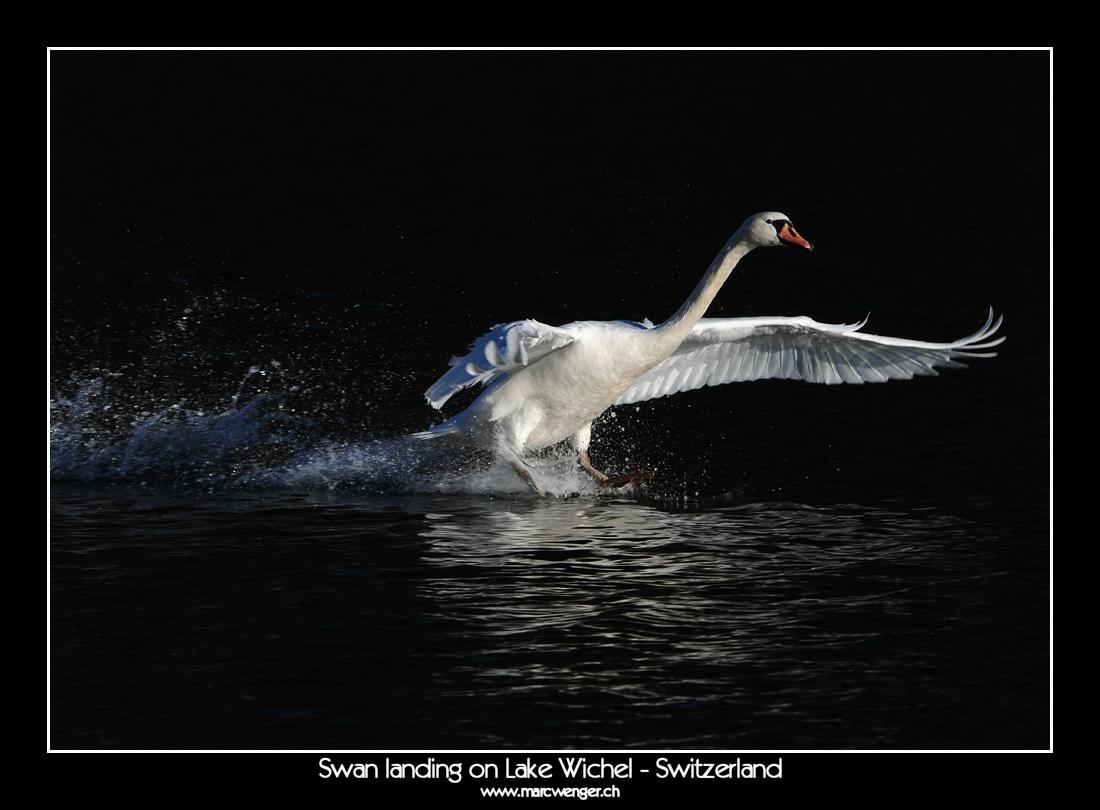 Swan landing on Lake Wichel - Switzerland