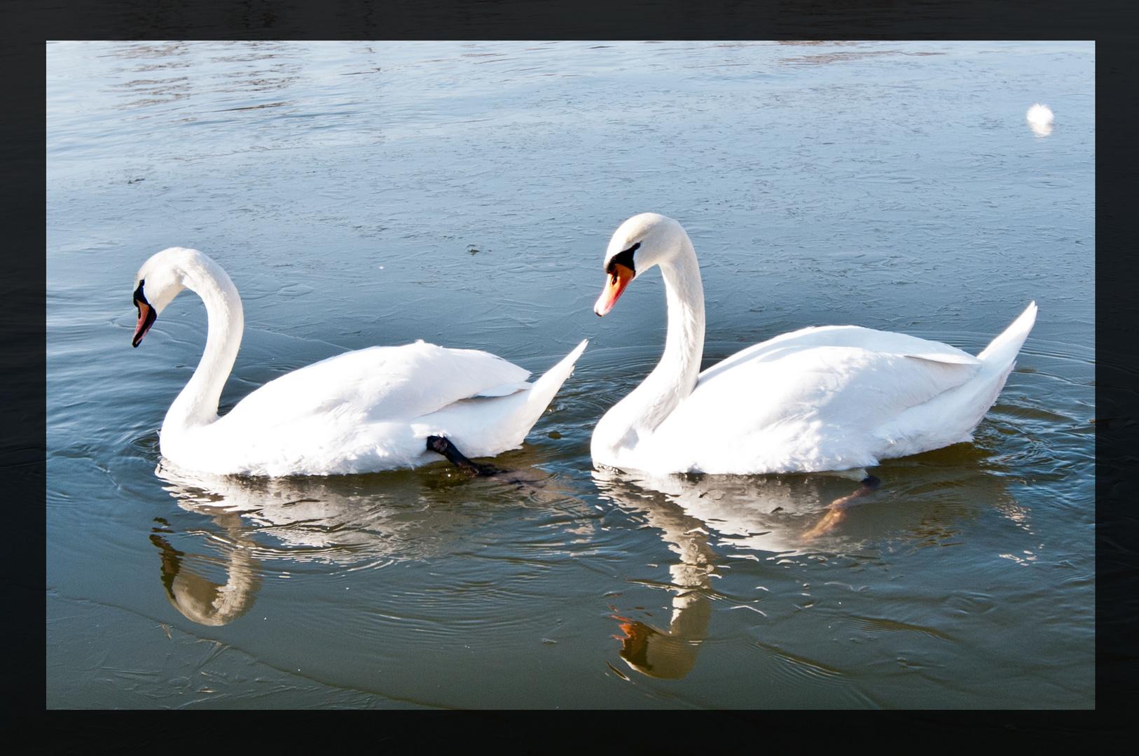 swan love on ice