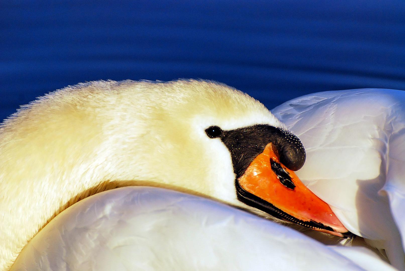 Swan on the River Rhine