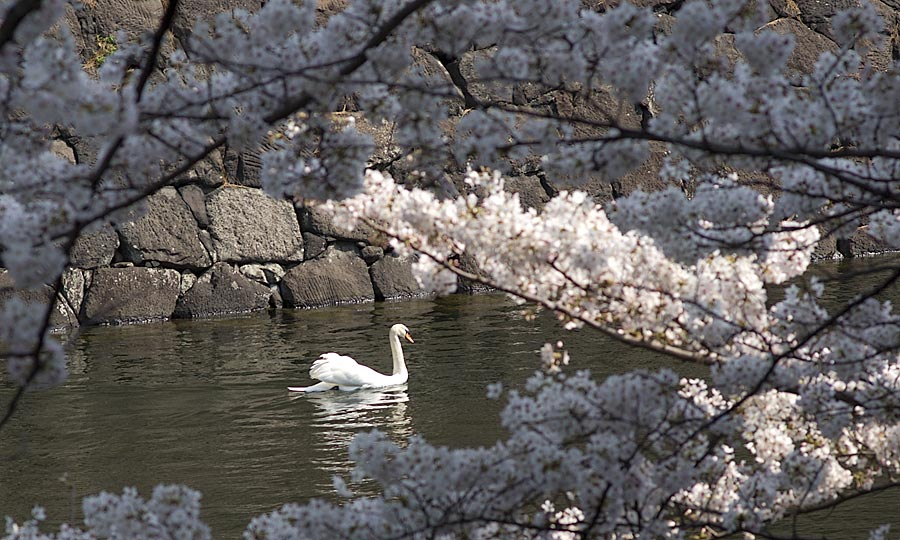 Swan With Cherry Blossoms