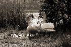 Swan's in Love