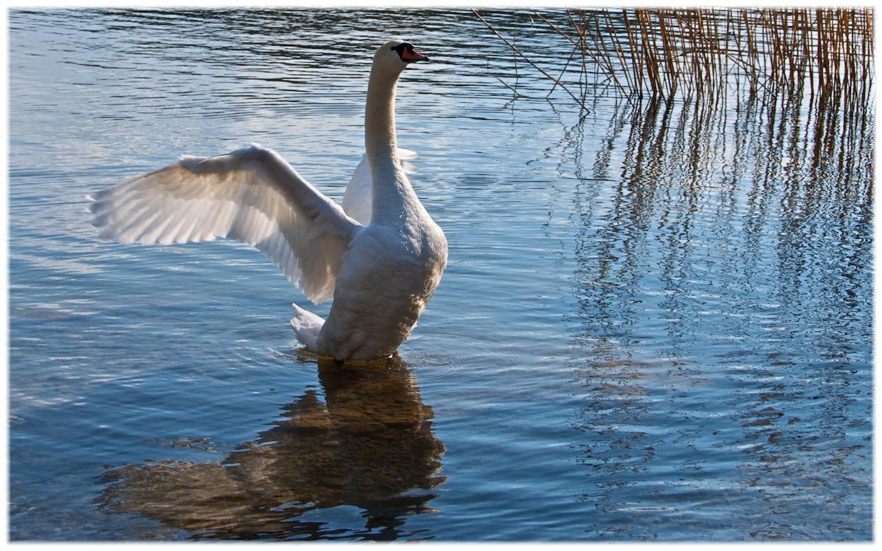 swanwalk