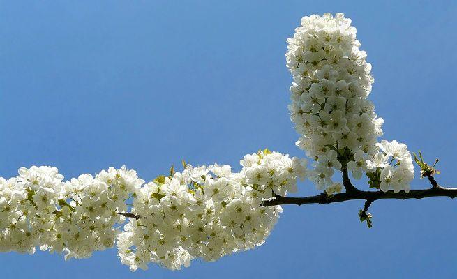 Sweet Cherry tree blossoms