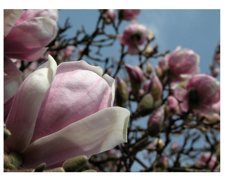Sweet Magnolia Tree