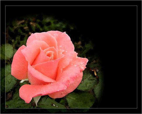 Sweet Rose