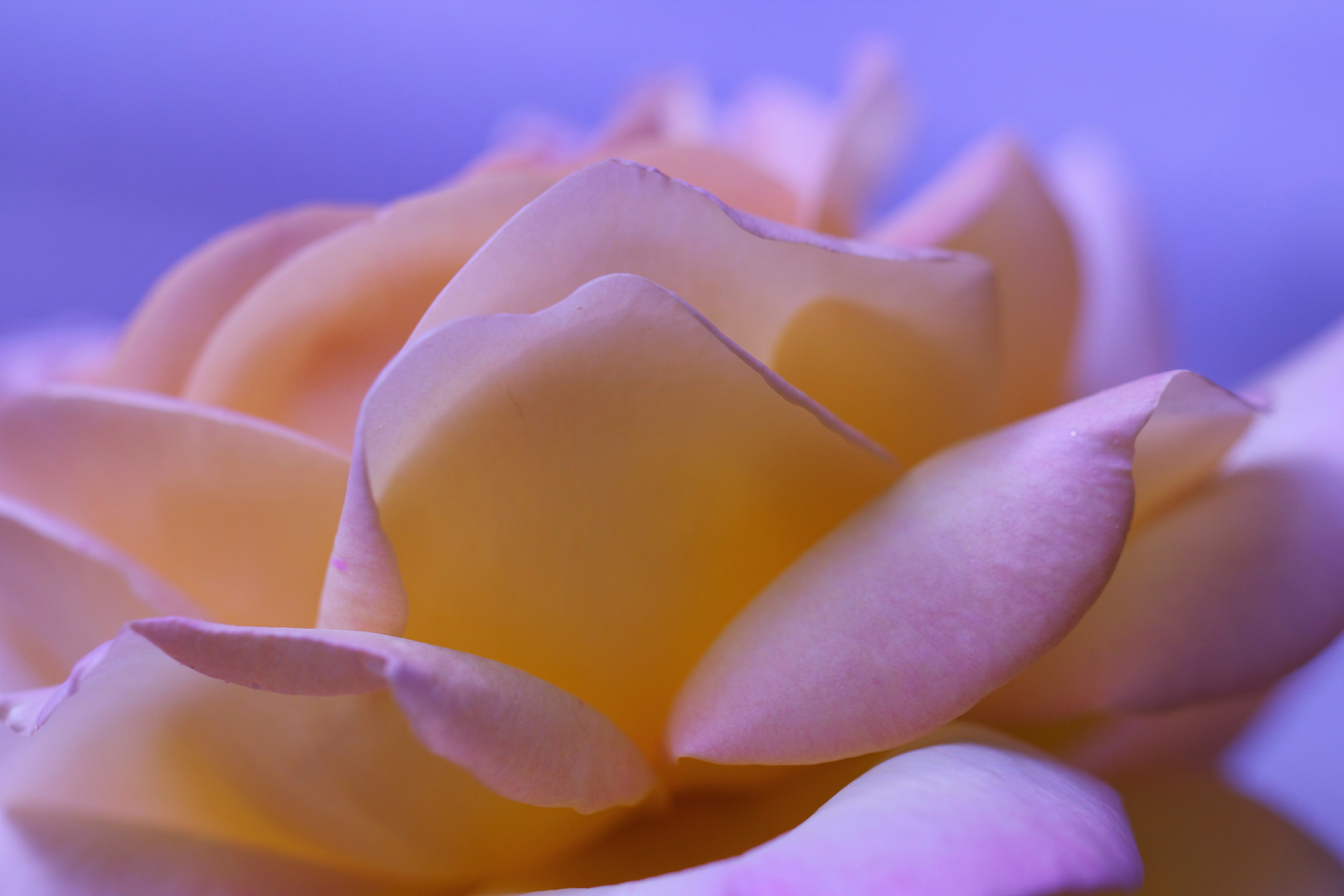 sweet Rose..