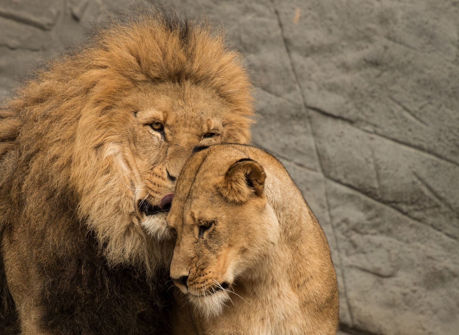 sweety lions