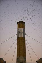swifts over chapman school - part II
