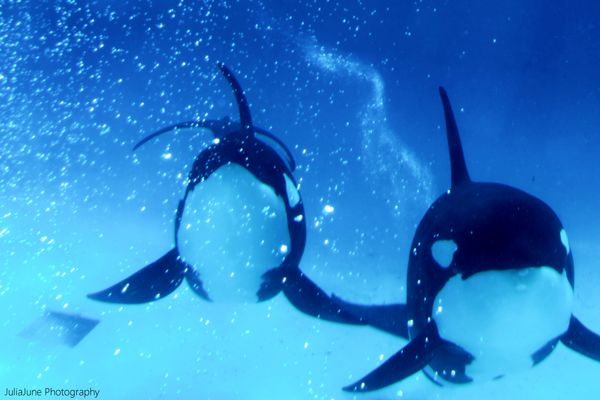 Swimming Orcas