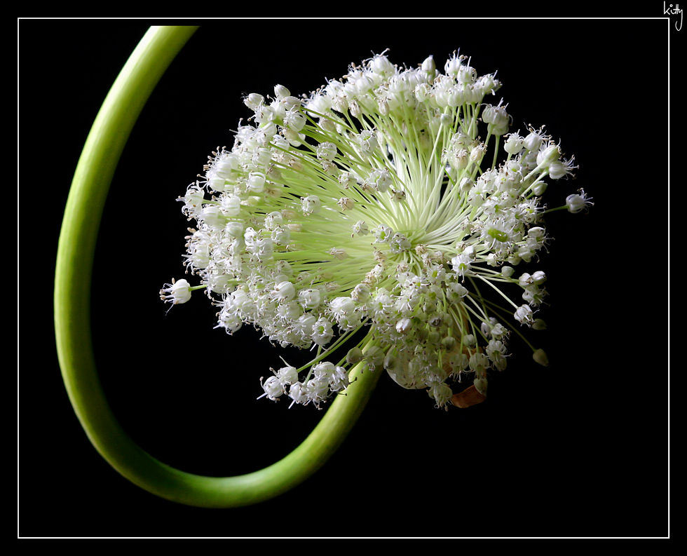 Swinging Allium