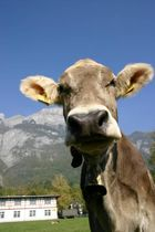 Swiss Cow 2
