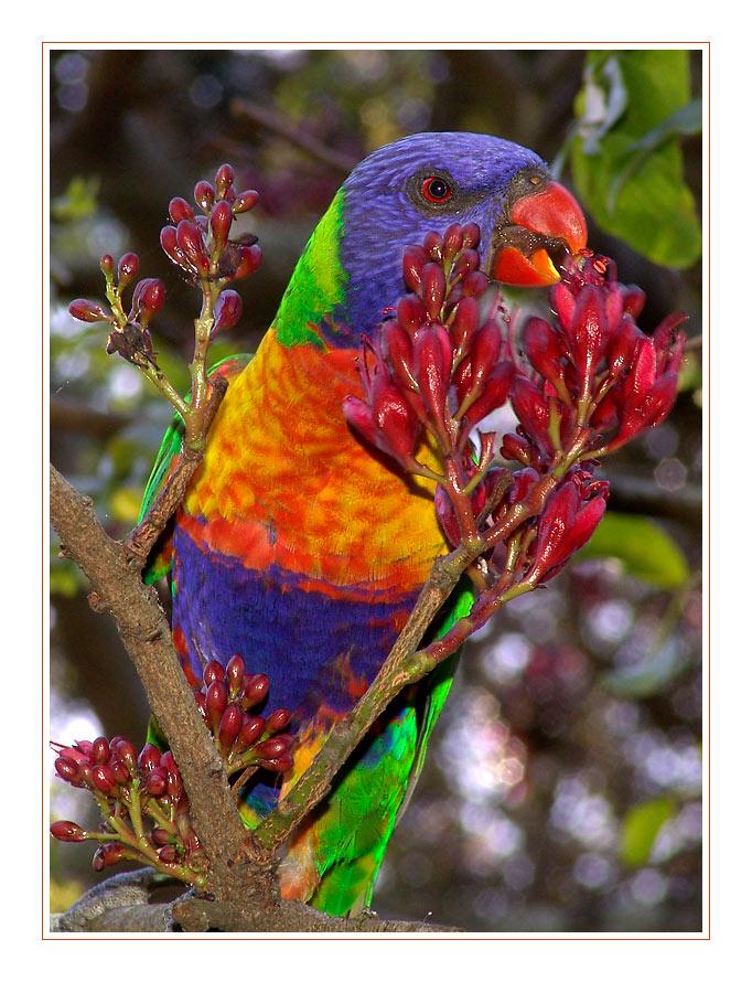 Sydney Papagei