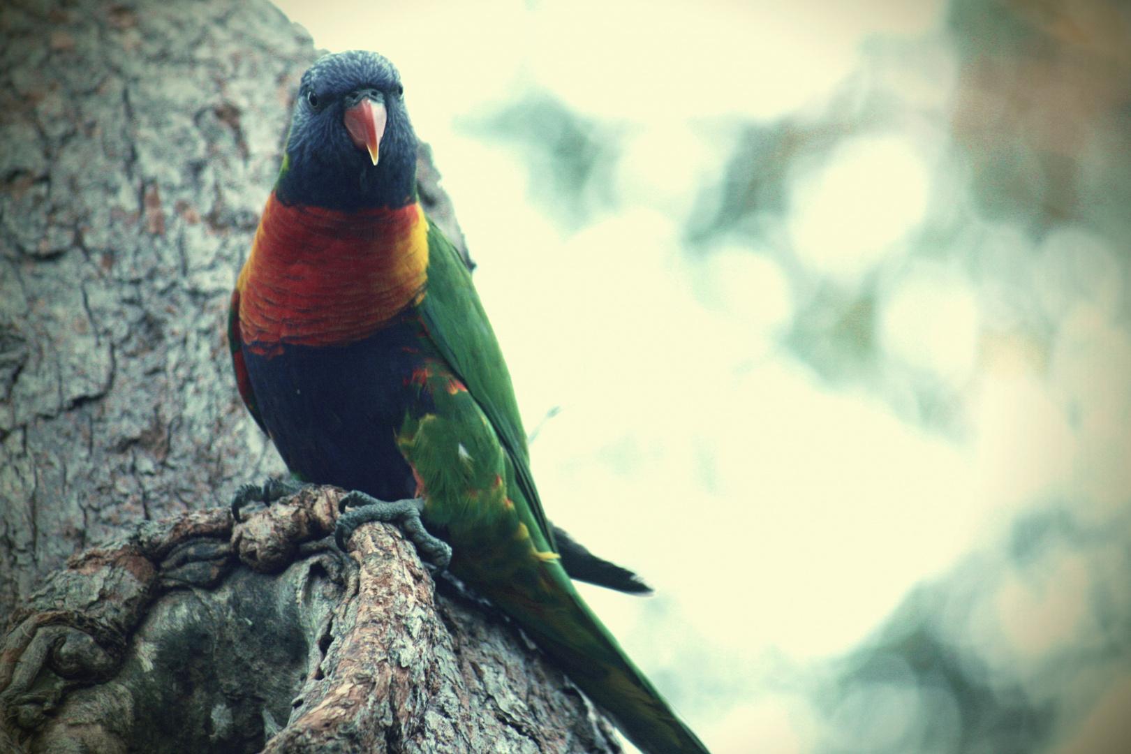 Sydney Parrot 2