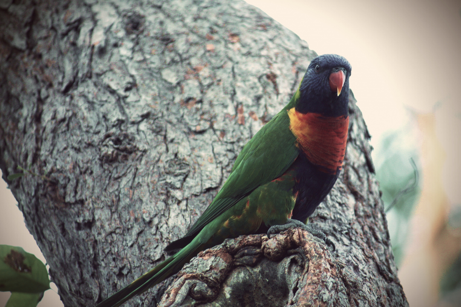 Sydney Parrot 3
