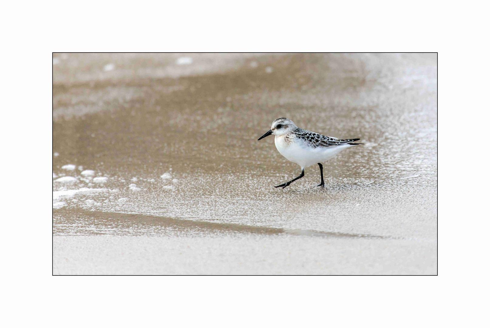 Sylt, eiliger Strandläufer vor Hörnum