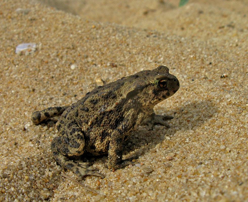 Sylt: Erdkröte? Bufo Bufo