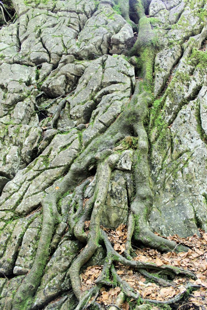 Symbiose zwischen Baum und Fels