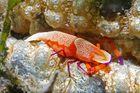 Symbiosekrebs auf Seegurke
