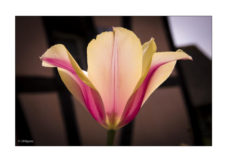 Symmetrie der Natur - Tulpe VI