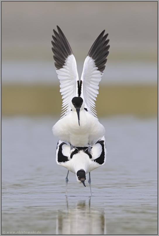 Symmetrie... Säbelschnäbler *Recurvirostra avosetta*