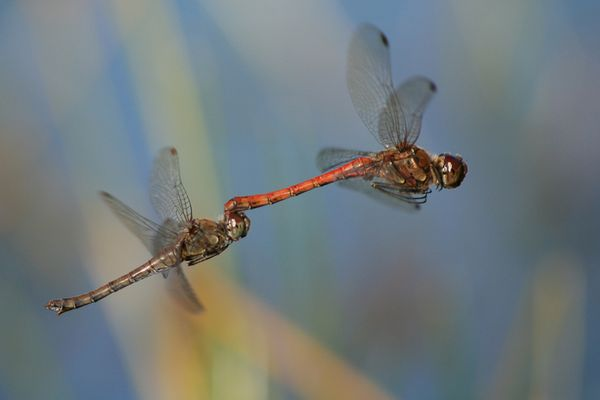 Sympetrum : Accouplement en plein vol