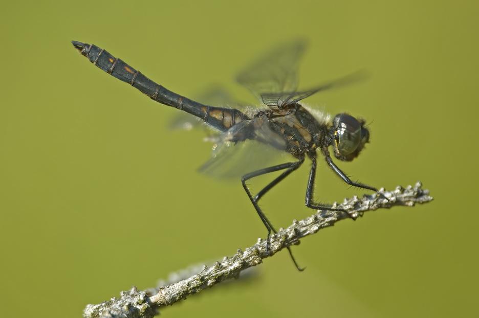 Sympetrum danae (Schwarze Heidelibelle)