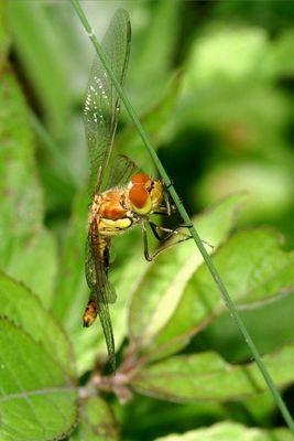 sympetrum déployant ses ailes