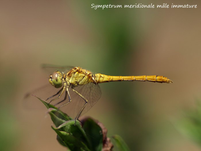 Sympetrum meridionale mâle immature