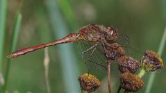 Sympetrum meridionale (Südliche Heidelibelle)