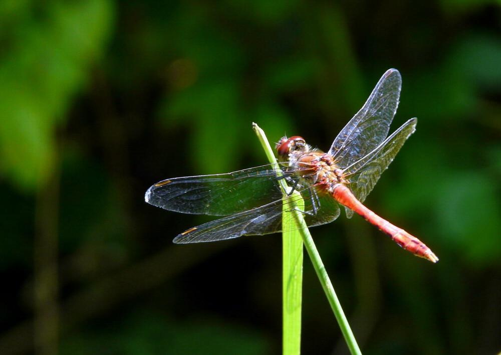 Sympetrum Sanguin mâle
