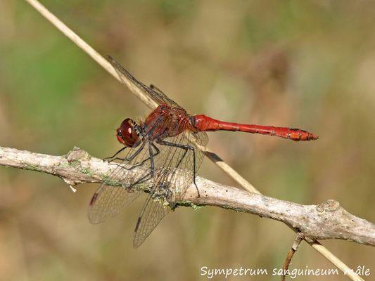 Sympetrum sanguineum mâle