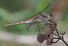 Sympetrum vulgatum Weibchen