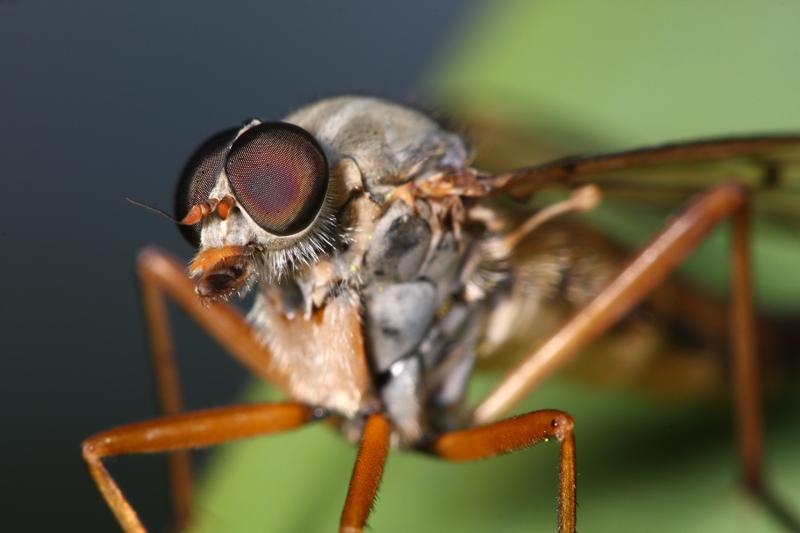 Symphoromyia immaculata