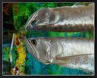 Synchronschwimmen der Fische