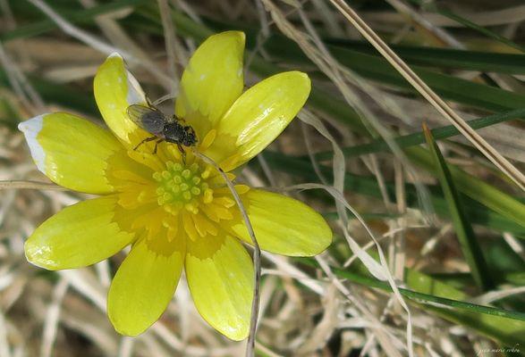 Syritta pipiens sur fleur de ficaire (ficaria ranunculoides)