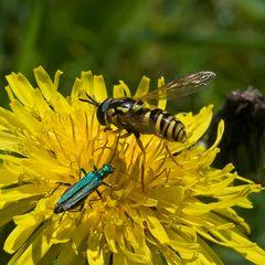 Syrphe Chrysotoxum verralli en compagnie d'un Oedemera nobilis