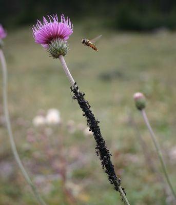 Syrphe en vol et colonie de puceron avec leurs bergers fourmis