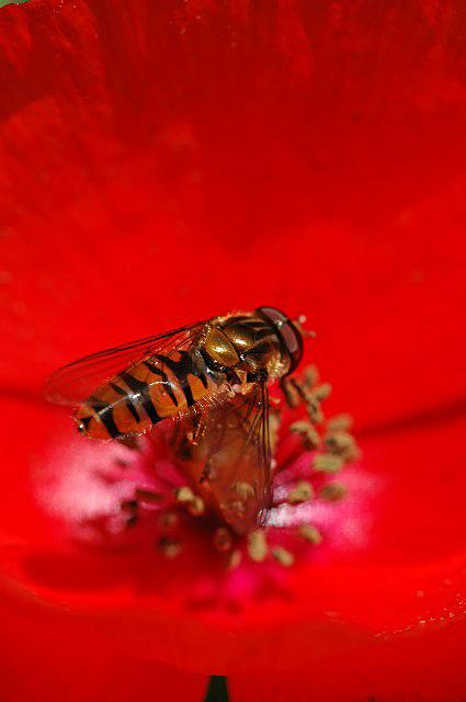 syrphe ou abeille