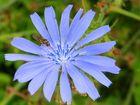 Syrphe sur fleur de Chicorée