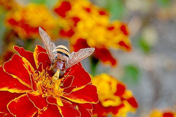 syrphe sur oeillet d'inde