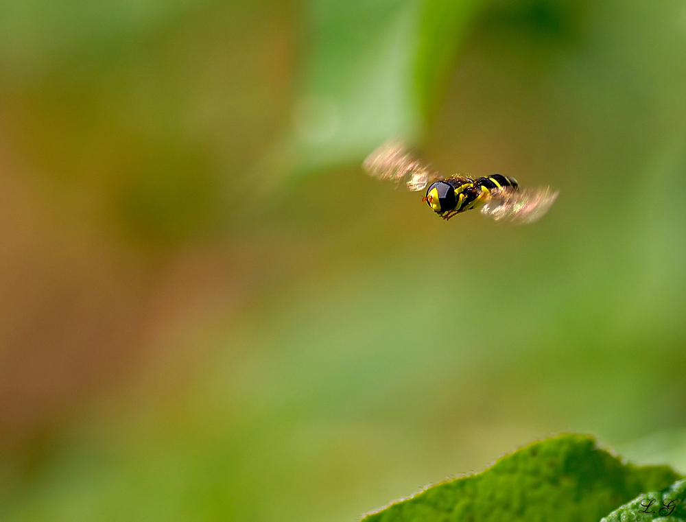 Syrphidae en vol