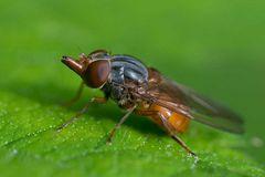 Syrphidae : Rhingia campestris